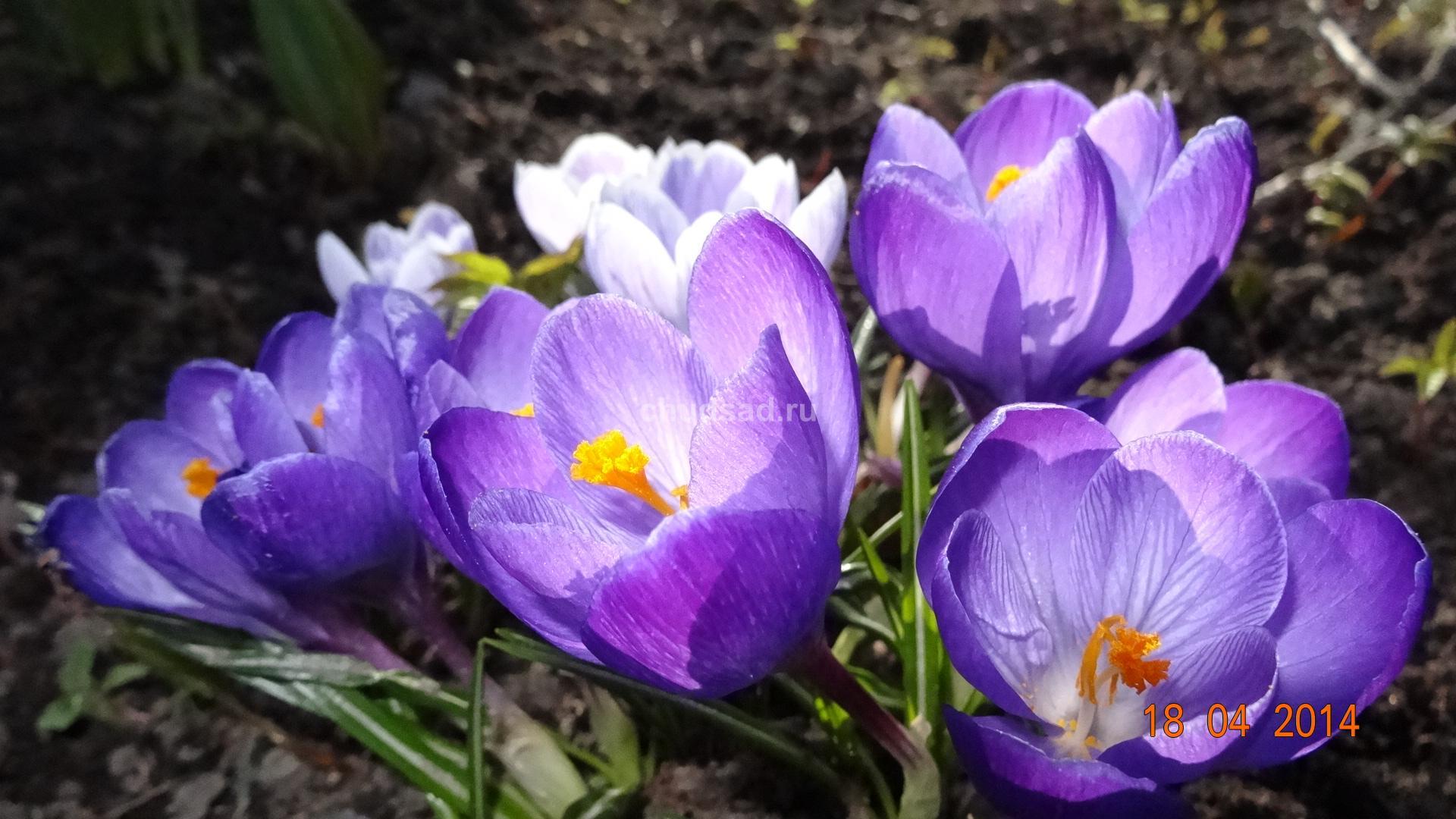 Крокусы Крупноцветковый Ремембранс