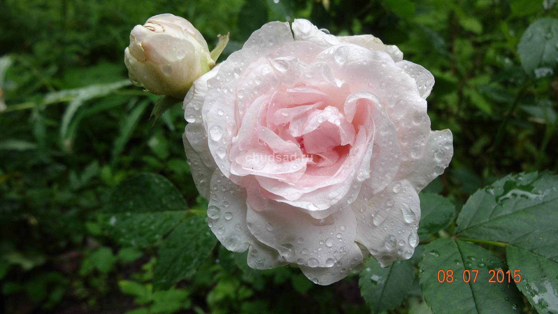 Роза бледно-розовая