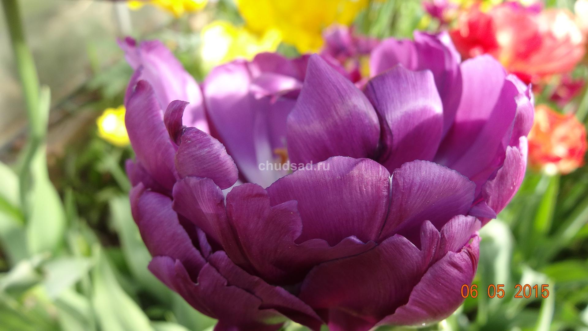 Тюльпан махровый Блю Вейв