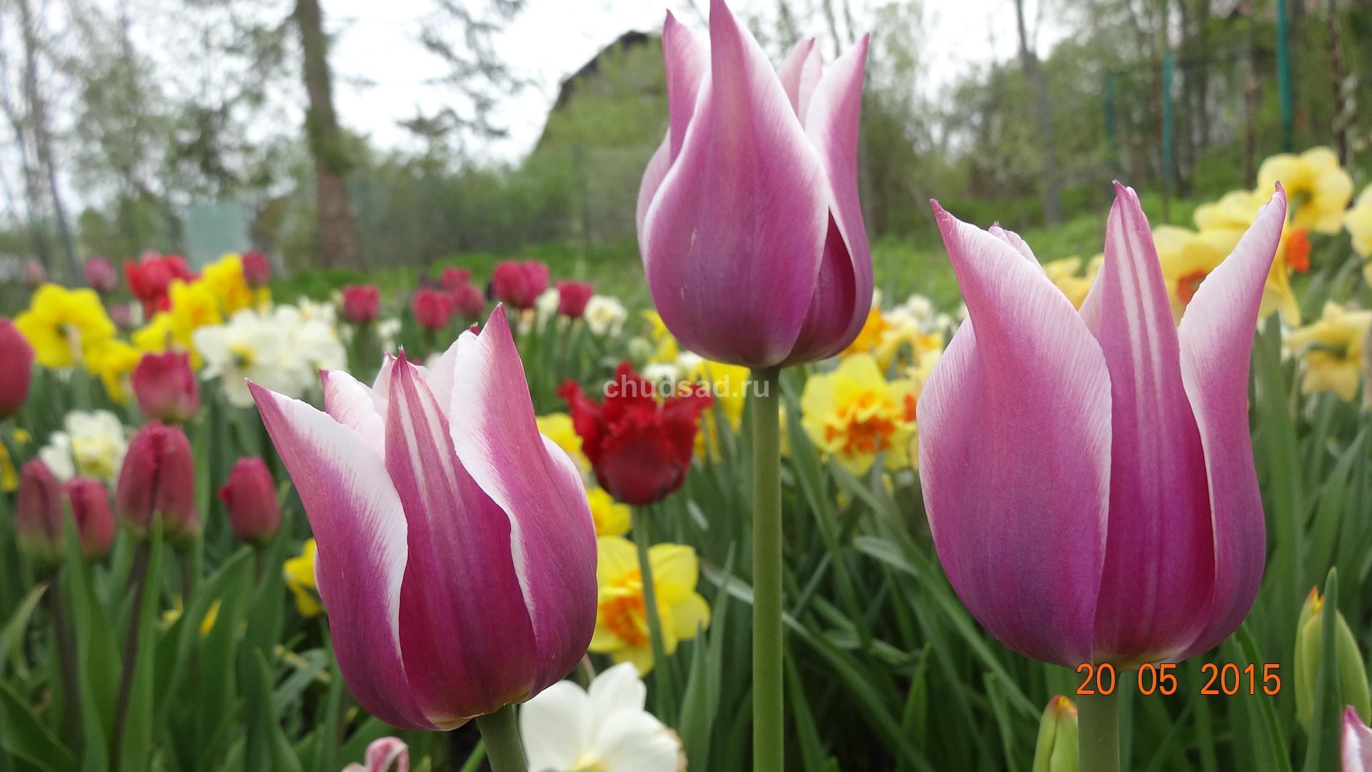 Тюльпан Лилиецветный Мейтайм
