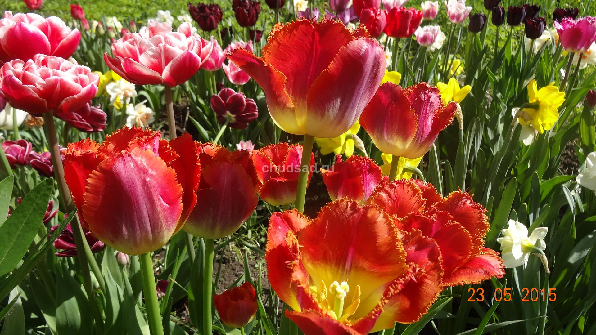 Тюльпан бахромчатый Майями Сансет
