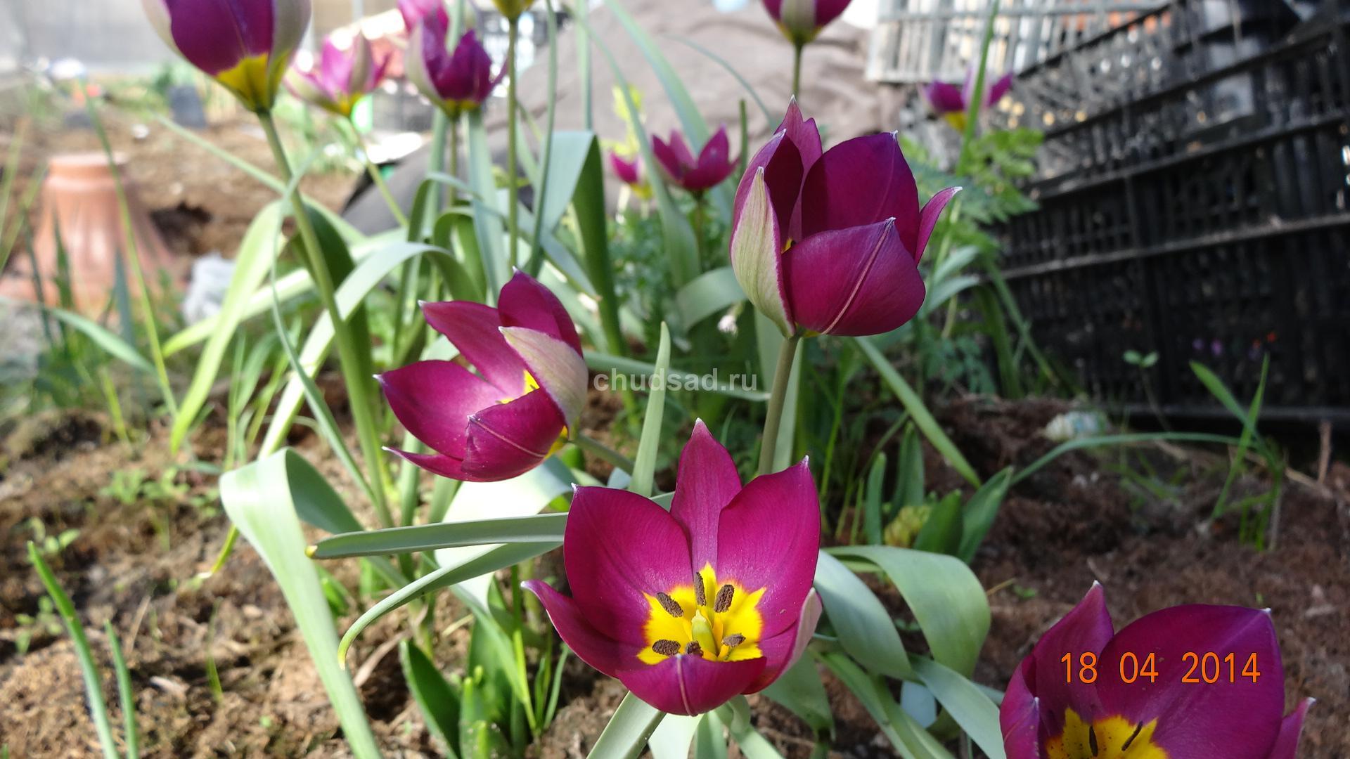 Тюльпан Ботанический Персиан Перл