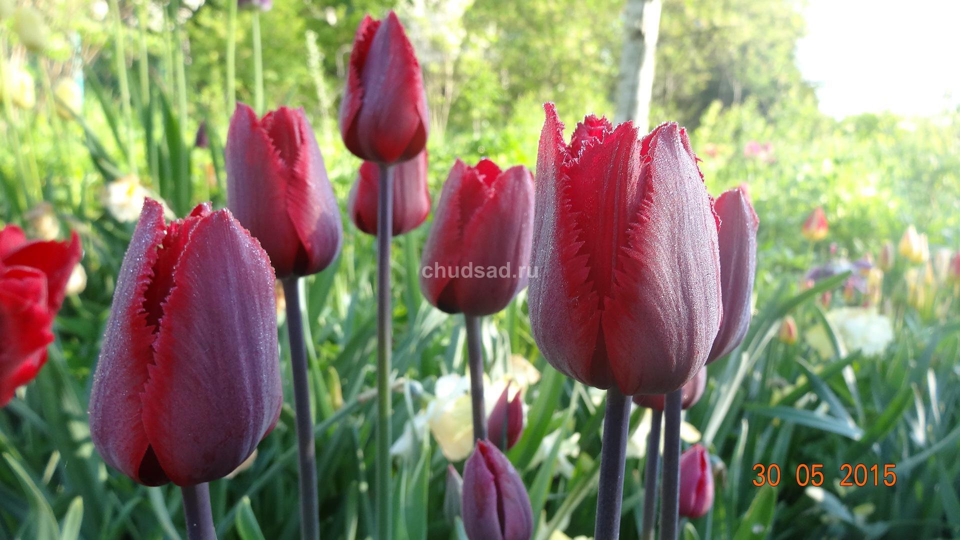Тюльпан бахромчатый Красная шапочка