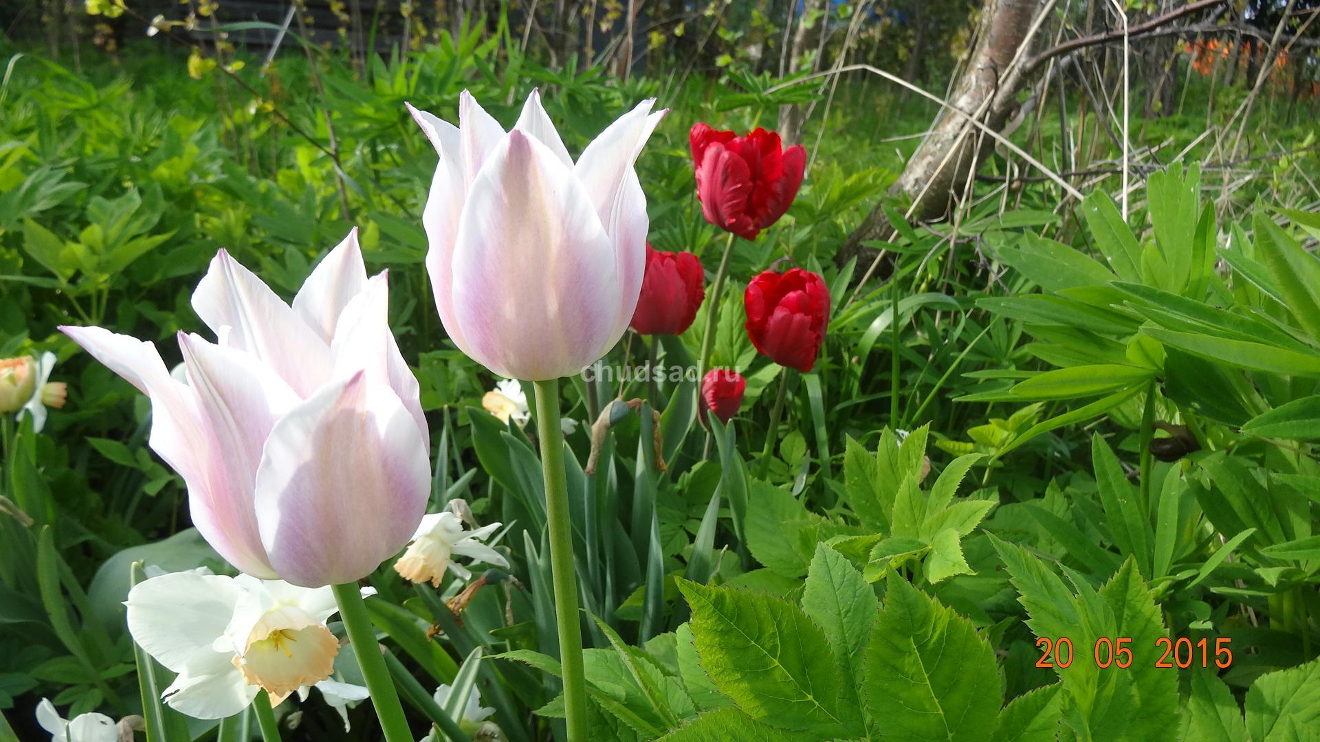 Лилиецветный тюльпан Юнихи