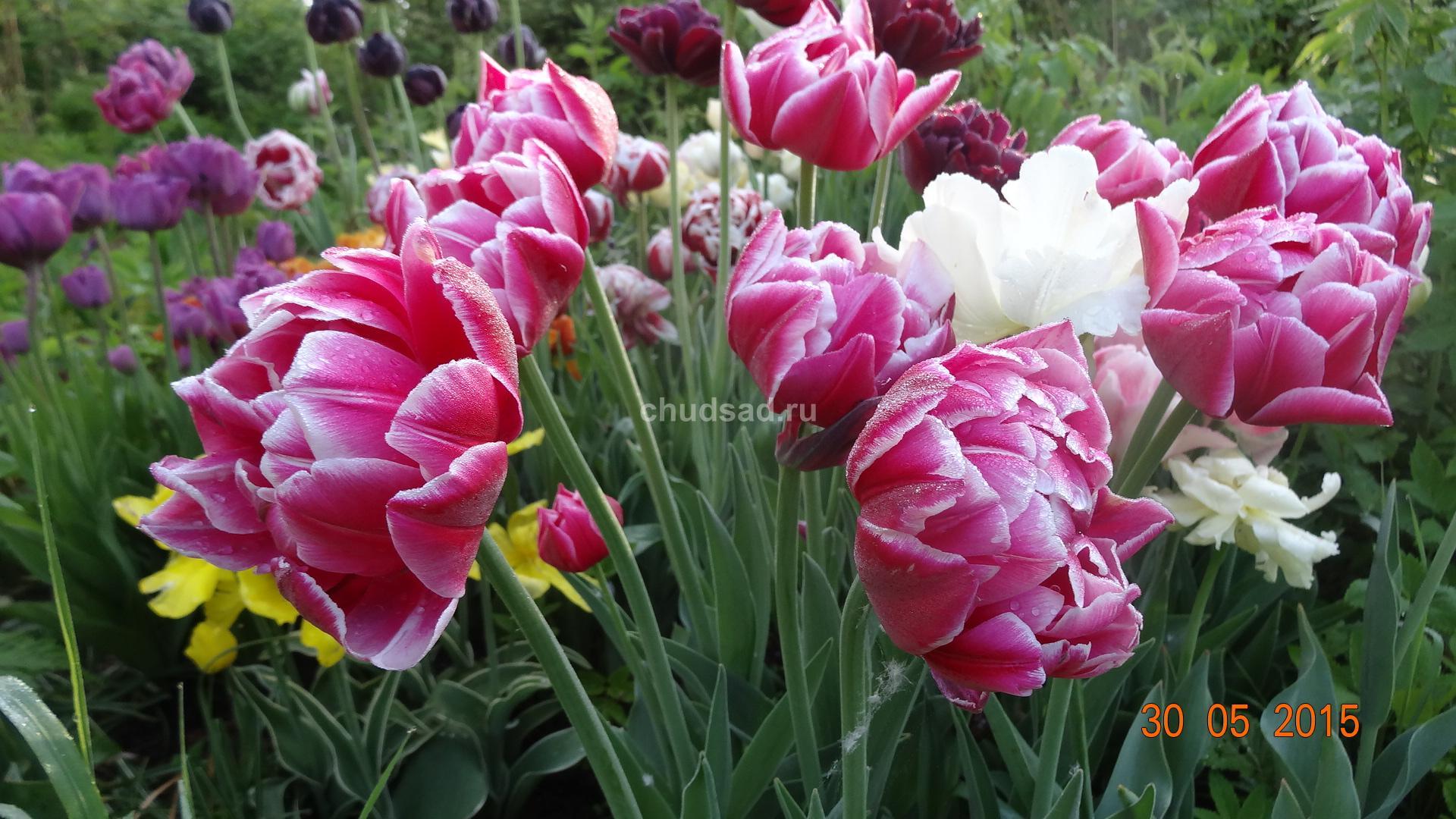 Тюльпан махровый Зизани