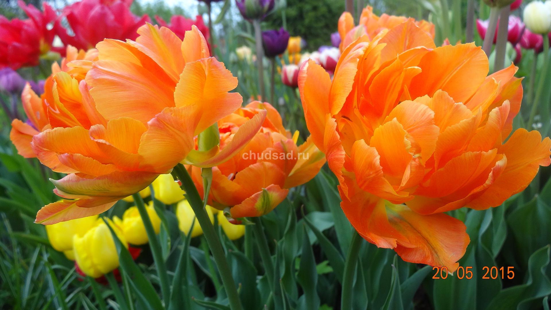 Тюльпан Махровый Анжелика Оранж