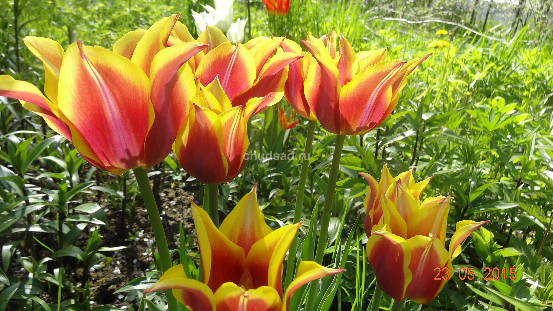 Тюльпан лилиецветный Соннет