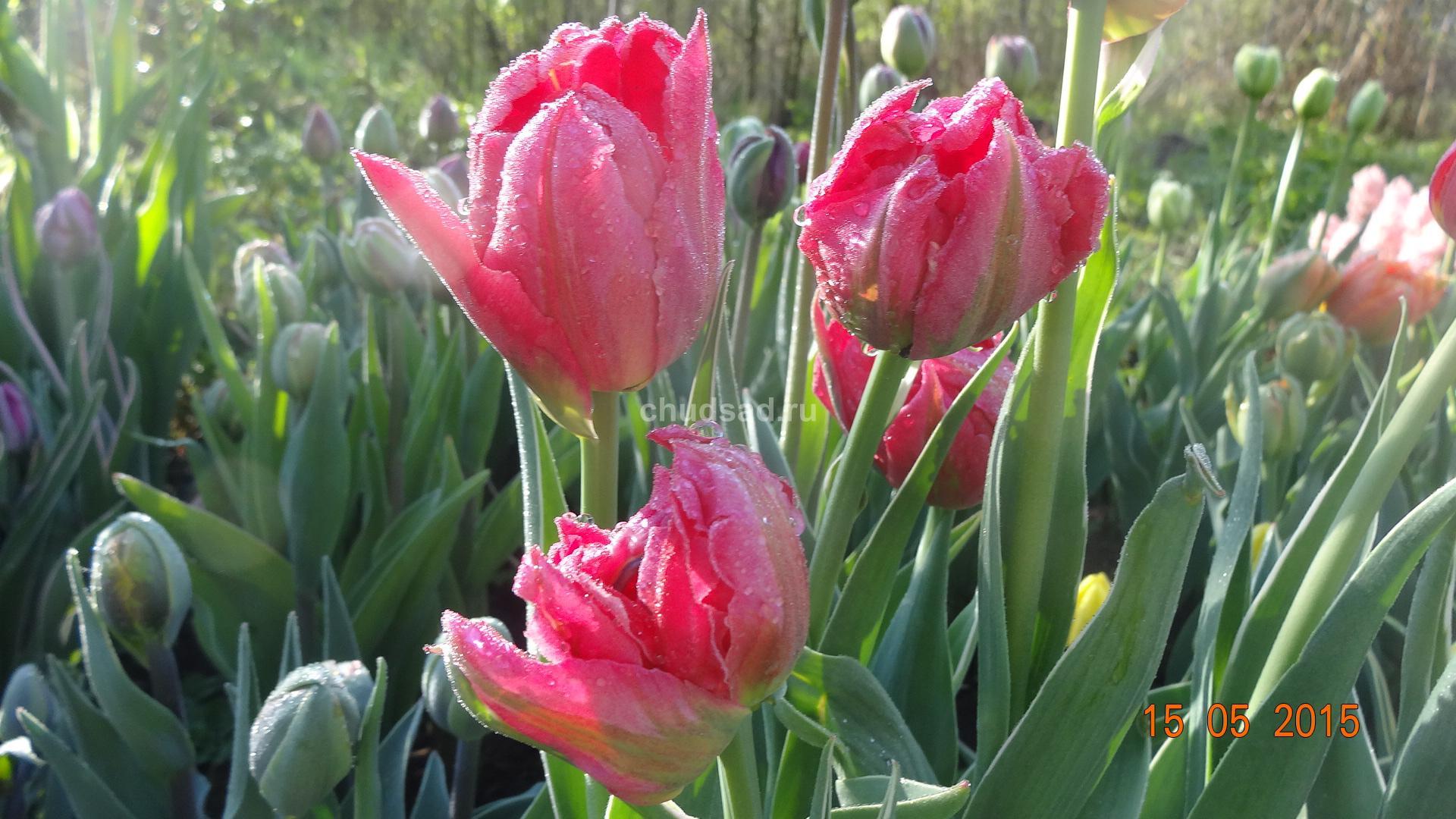 Тюльпан попугайный Лиззард