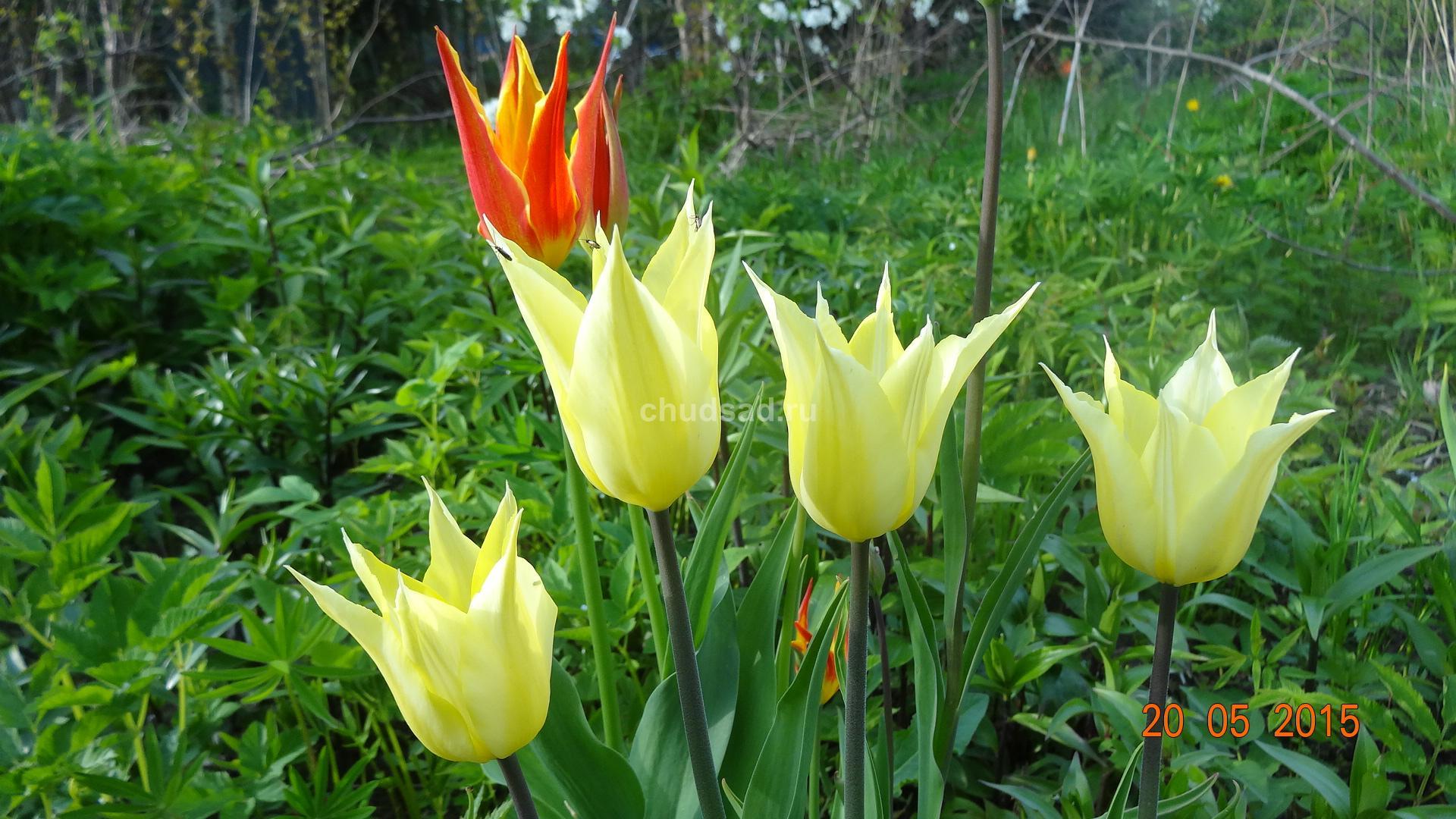 Тюльпан лилиецветный Саппоро