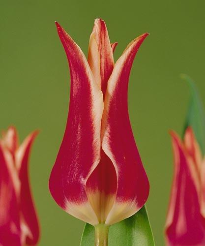 Тюльпан Акита (лил.) Image