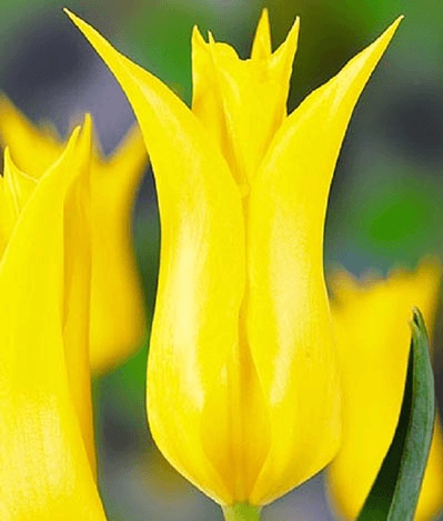 Тюльпан Баллада Голд (лил.) Image