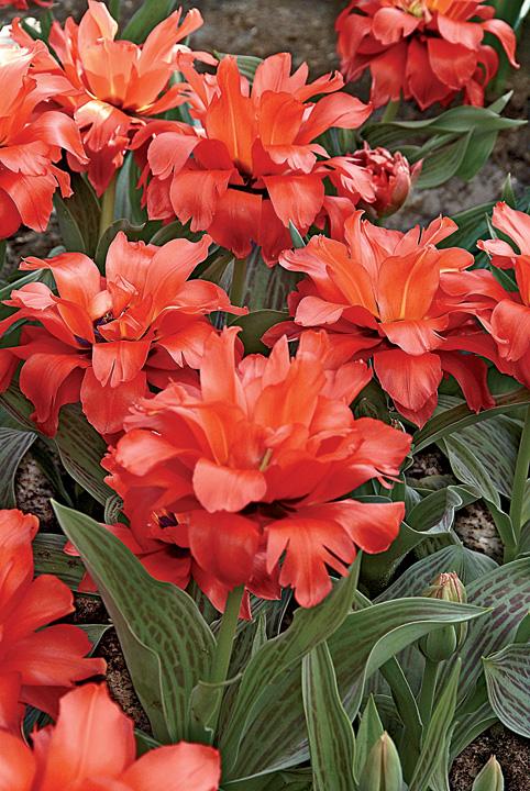 Тюльпан Дабл Ред Ридинг Худ (Грейга) Image