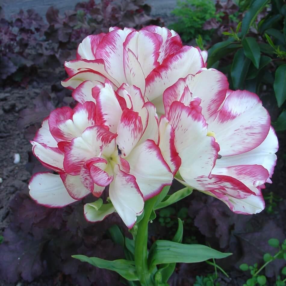 Тюльпан Дрим Клаб (мнгцв.) Image