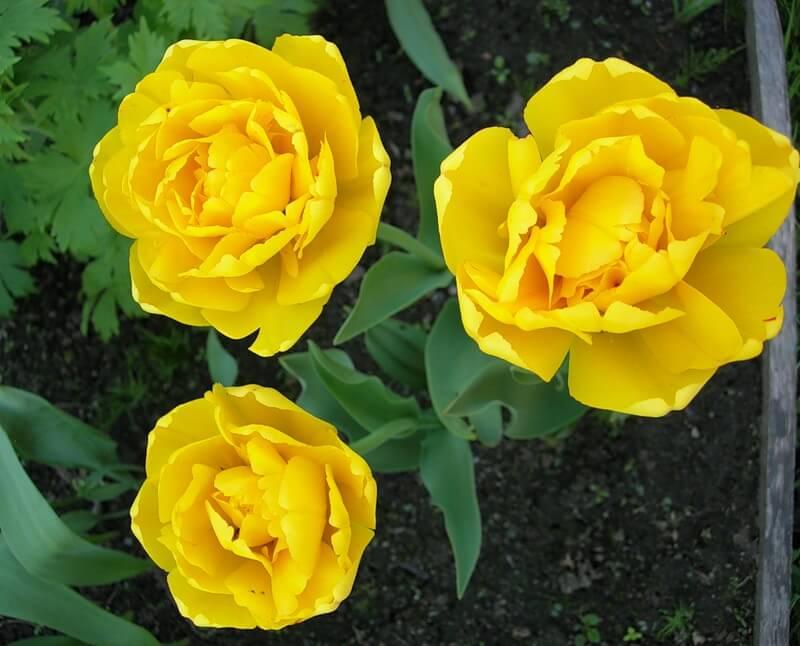 Тюльпан Йеллоу Помпонетт (махр. поздн.) Image