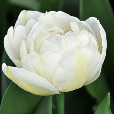 Тюльпан Касабланка (махр. поздн.) Image