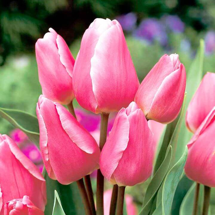 Тюльпан Кэнди Клаб (мнгцв.) Image