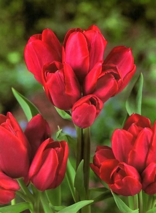 Тюльпан мерри гоу раунд