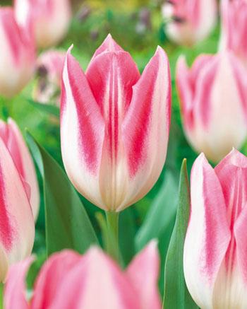 Тюльпан Мики Шик (триумф.) Image