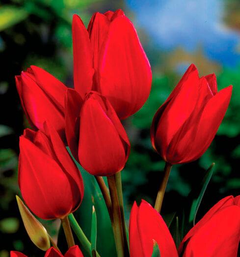 Тюльпан Ред Букет (мнгцв.) Image