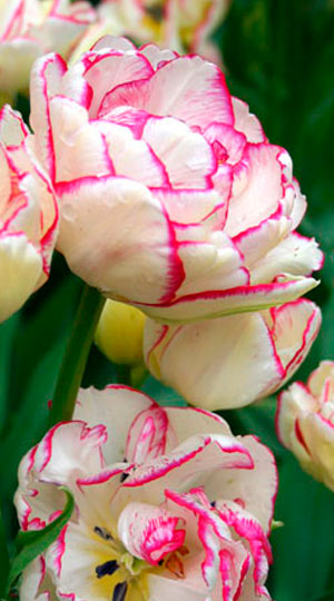 Тюльпан Рози Букет (мнгцв.) Image