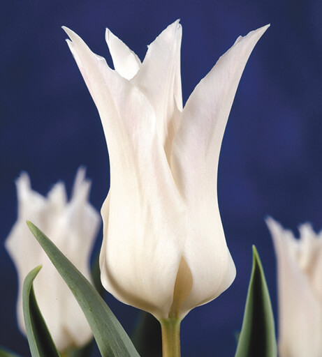 Тюльпан Трес Шик (лил.) Image