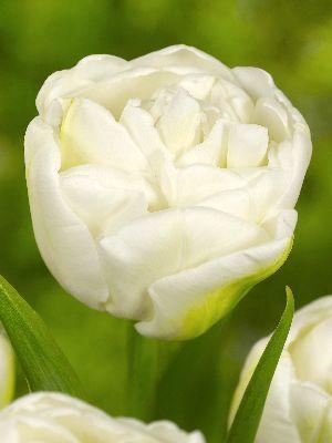 Тюльпан Уайт Хёрт (махр. поздн.) Image
