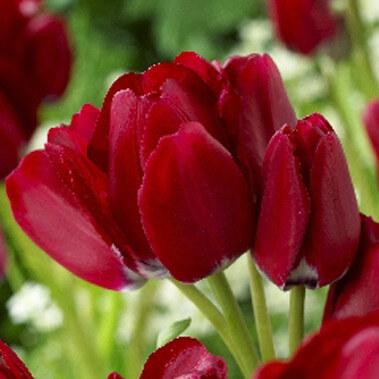 Тюльпан Файери Клаб (мнгцв.) Image