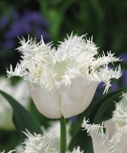 Тюльпан Ханимун (бахр.) Image