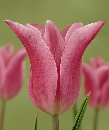 Тюльпан Чайна Пинк (лил.) Image