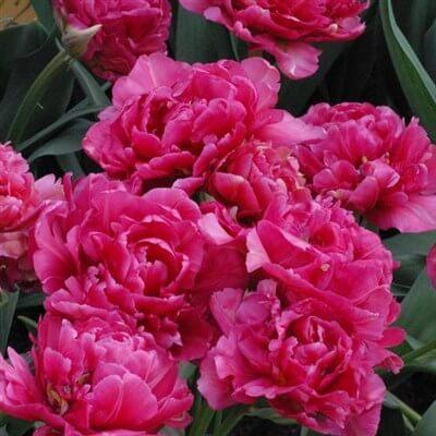 Тюльпан Шато (махр. поздн.) Image