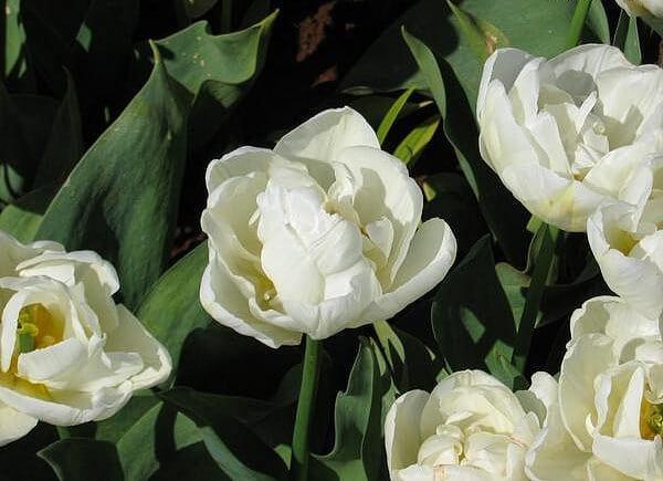 Тюльпан Эвита (2й эффект) Image