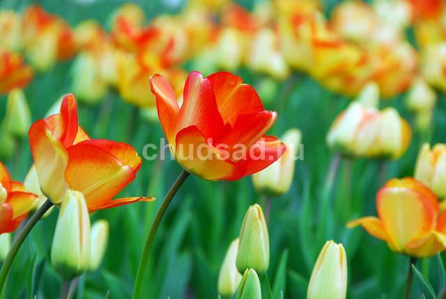 Тюльпан Американ Дрим (дарв.) Image