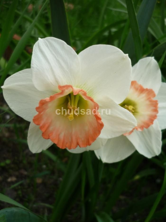 Нарцисс Шарм (крупнокор. Роз.) Image