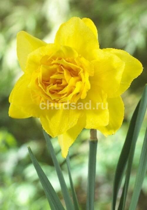 Нарцисс Дабл Форчун (махр.) Image