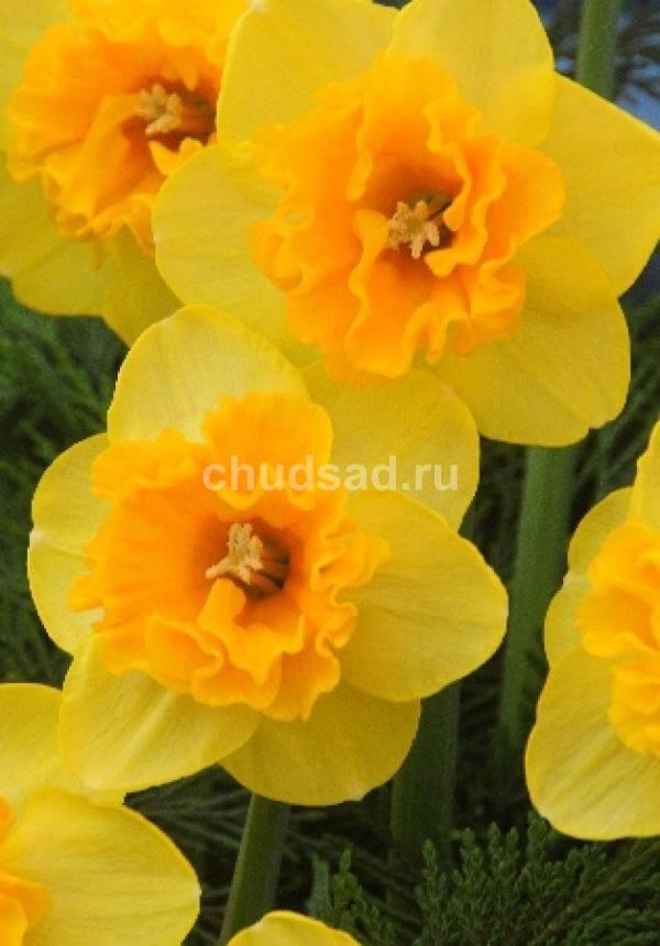 Нарцисс Мирар Image