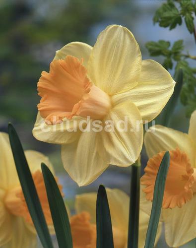 Нарцисс Сагитта (трубч. роз.) Image