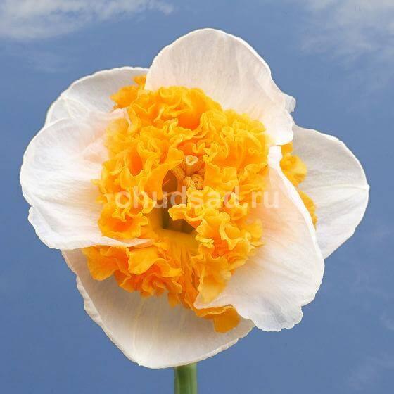 Нарцисс Свирл (крупн. Роз. гофр.) Image