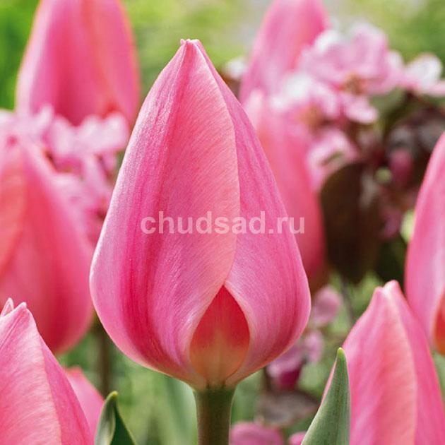 Тюльпан Космополитен (пр. ранн.) Image