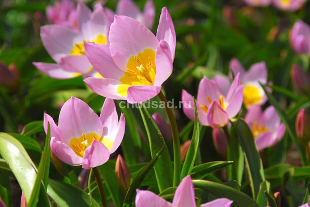 Тюльпан Лилак Уандер (видовые) Image