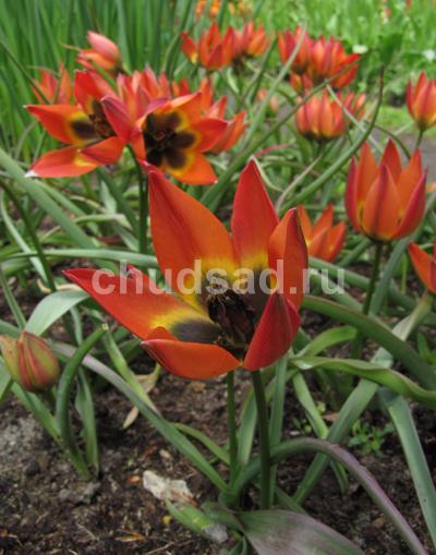 Тюльпан Литтл Принцесс (видовые) Image