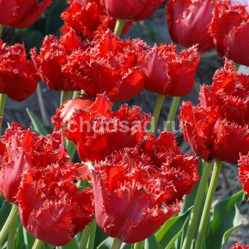 Тюльпан Мэйвуд (бахр.) Image