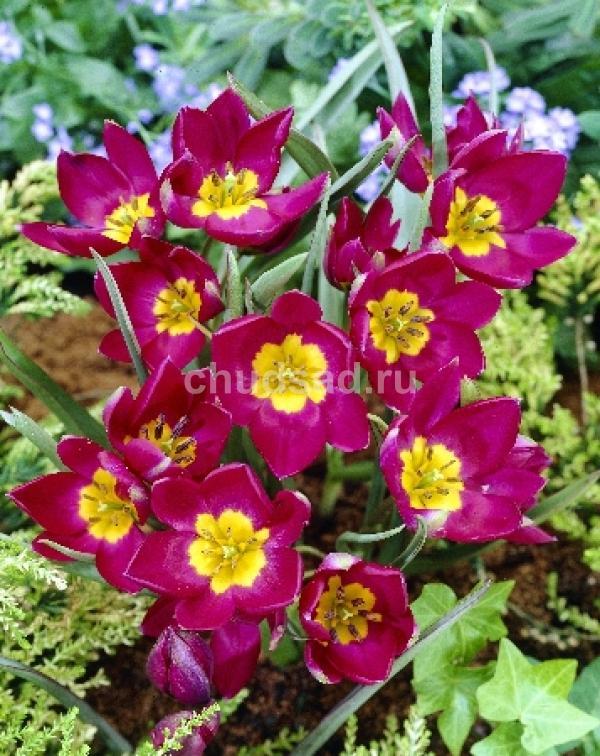Тюльпан Одалиска (видовые) Image