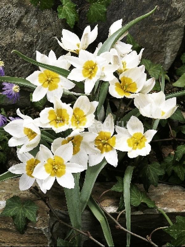 Тюльпан Многоцветный (видовые) Image