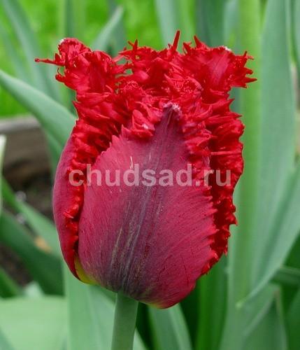Тюльпан Валерий Гергиев (бахр.) Image