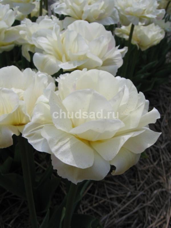 Тюльпан Уайт Тач (махр. поздн.) Image