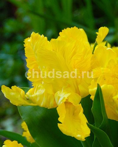 Тюльпан Йеллоу Сан (попуг.) Image