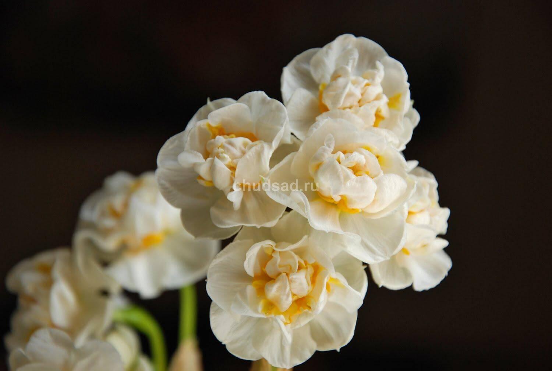 Нарцисс Бридал Краун (махр. мнгцв.) Image