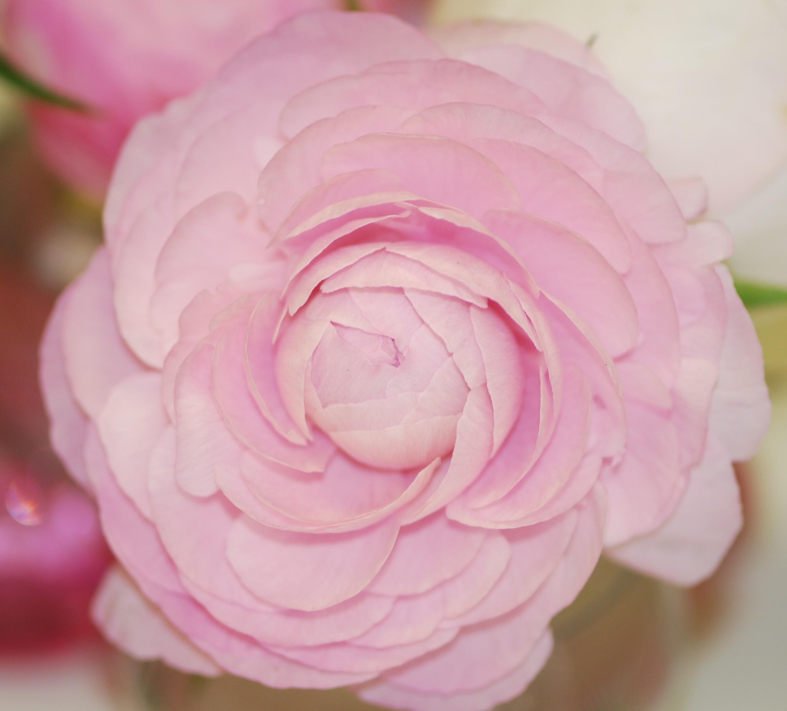 Ранункулюс Розовый Image