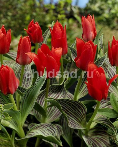 Тюльпан Али Баба (Грейга) Image
