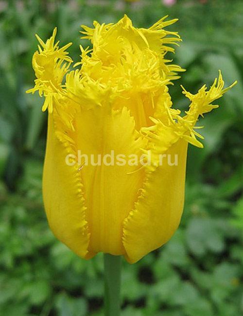 Тюльпан Криспи Мери (бахр.) Image